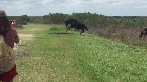 Borba konja i aligatora na Floridi - Sputnik Srbija