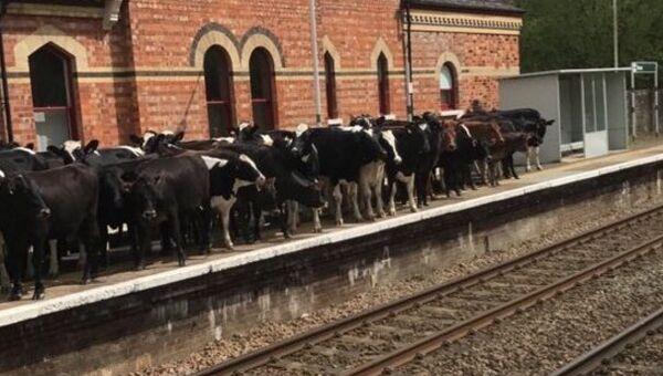Краве заузеле железничку станицу у Енглеској - Sputnik Србија