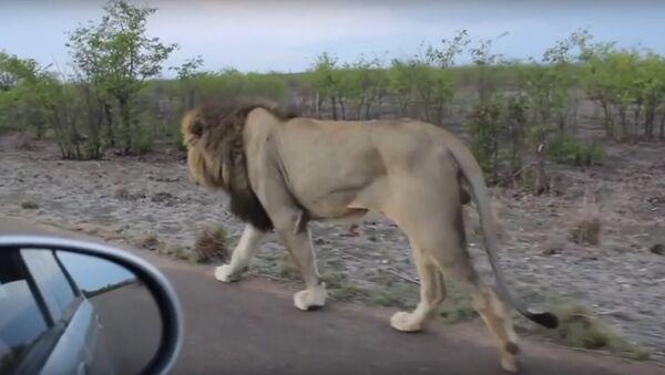 Kralj džungle - ne diraj lava dok hoda - Sputnik Srbija