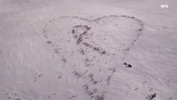 Норвешки пастир прави огромно срце уз помоћ ирваса - Sputnik Србија