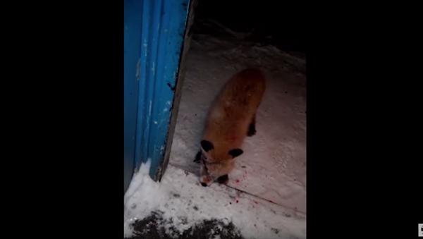 Napad zombi-lisice u Rusiji. - Sputnik Srbija