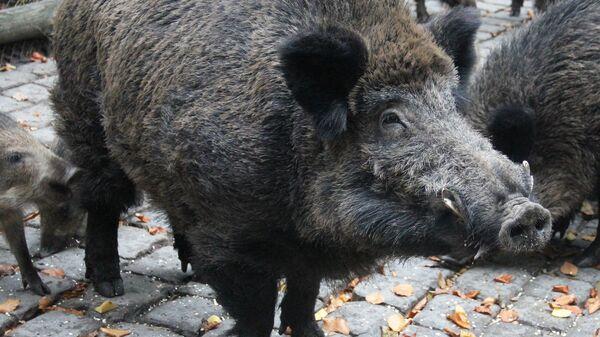Divlja svinja - Sputnik Srbija