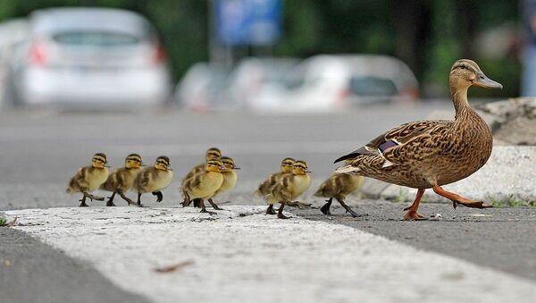 Као сваки дисциплиновани учесник у саобраћају, мама патка прво је погледала лево, па десно. - Sputnik Србија