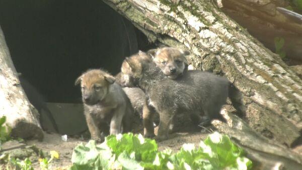 Vučići istražili teritoriju zoološkog vrta u SAD - Sputnik Srbija