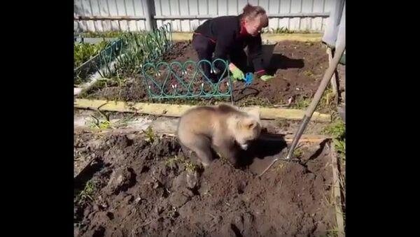 U međuvremenu u Rusiji: Medved obrađuje baštu - Sputnik Srbija