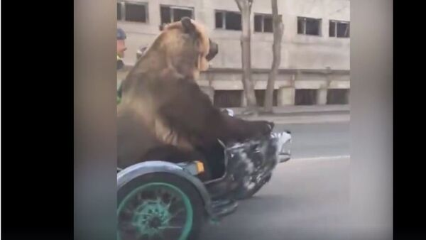 Medved na motociklu - Sputnik Srbija