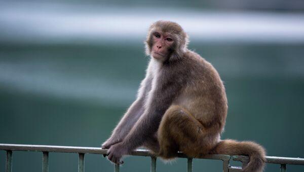 Makaki majmun sedi na ogradi u zoološkom vrtu u Hongkongu. - Sputnik Srbija