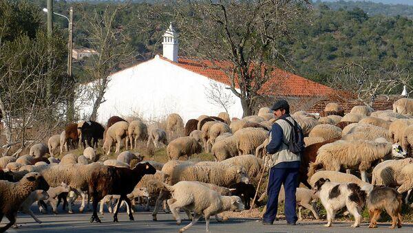Пастир и овце - Sputnik Србија