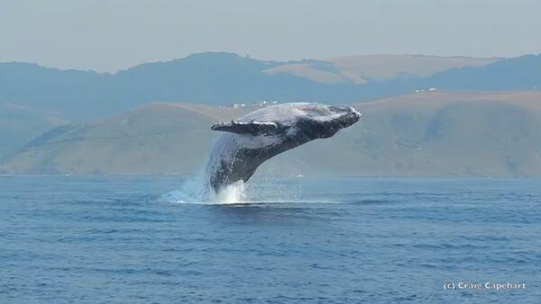Грбави кит искаче из воде - Sputnik Србија
