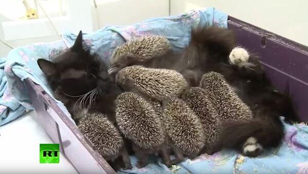 Maca usvojila ježeve - Sputnik Srbija