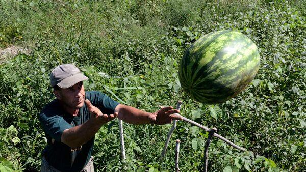 Узгој и сакупљање лубеница на територији Хабаровска - Sputnik Србија