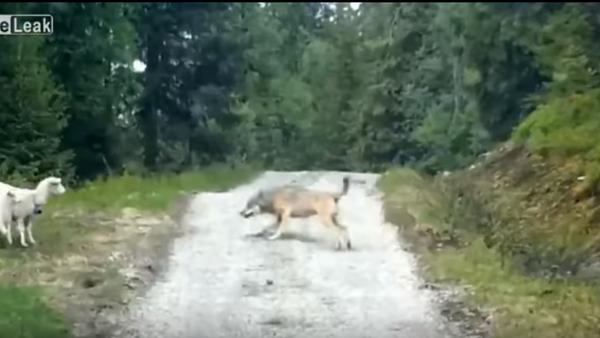 Vuk i ovce - Sputnik Srbija