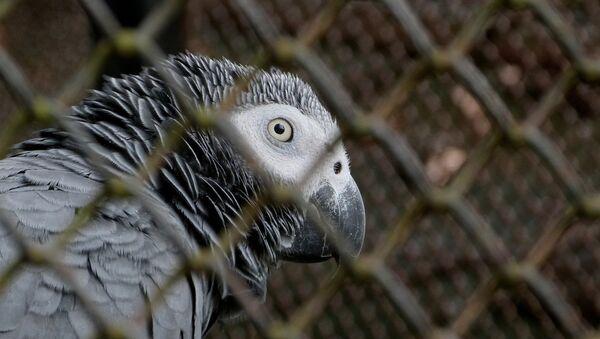 Afrički papagaj žako - Sputnik Srbija