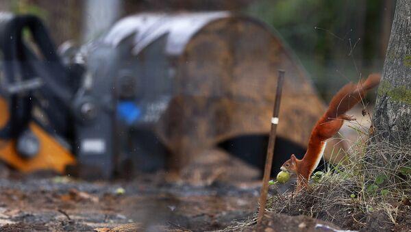 Veverica sa jabukom ustima skače sa drveta pored neeksplodirane bombe iz Drugog svetskog rata u Frankfurtu. - Sputnik Srbija