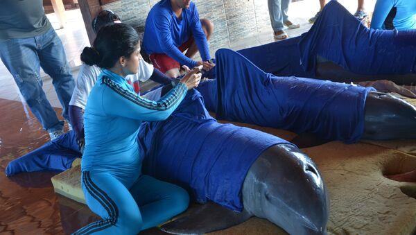 Радници делфинаријума Кајо Гијермо на Куби припремају делфине за евакуацију у Сијенфуегос. - Sputnik Србија