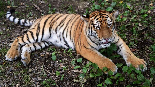 Амурски тигар - Sputnik Србија