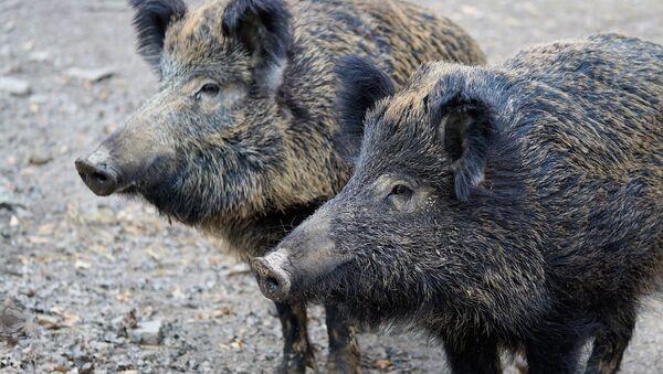 Divlje svinje - Sputnik Srbija