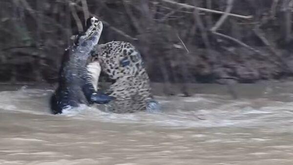 Borba jaguara i aligatora - Sputnik Srbija