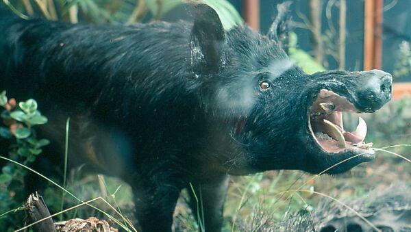 Дивља свиња - Sputnik Србија