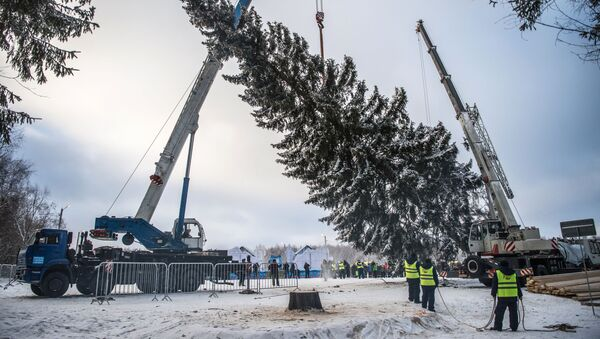 Seča i priprema za prevoz novogodišnje jelke - Sputnik Srbija
