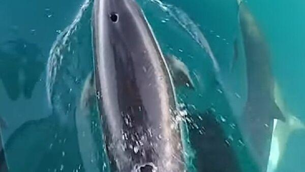 Udvaranje delfina - Sputnik Srbija