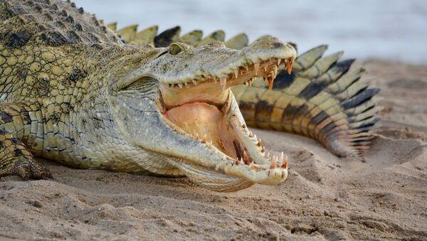 Krokodil - Sputnik Srbija