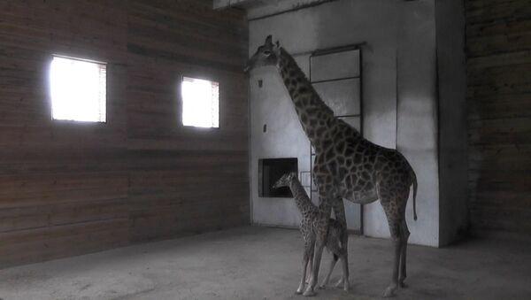 Жирафе у сафари-парку у Севастопољу - Sputnik Србија