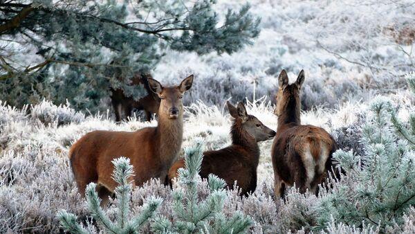 Porodica jelena u šumi - Sputnik Srbija