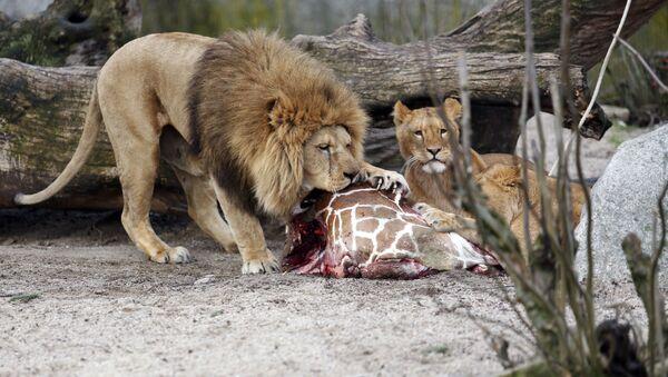 Лавови једу труп жирафе Маријуса у Зоолошком врту у Копенхагену, 9. фебруара 2014. - Sputnik Србија