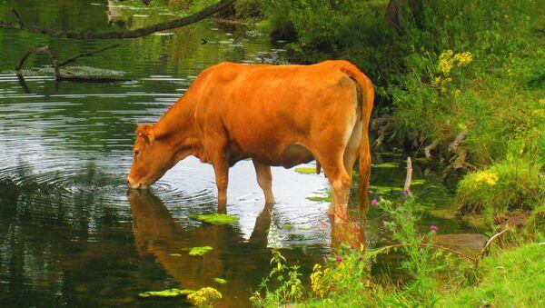 Govedo na pojilu - Sputnik Srbija