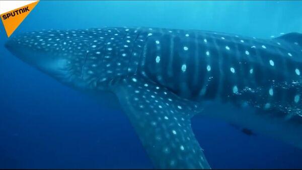 Kit ajkula - najveća ajkula na svetu - Sputnik Srbija