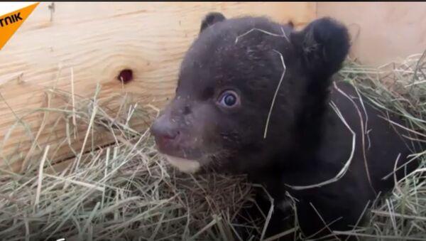 Ruski veterinari brinu o mladunčetu himalajskog medveda - Sputnik Srbija
