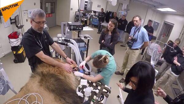 Veterinari iz američkog zoološkog vrta u Ohaju uspavali su lava kako bi mu uradili tomografiju. - Sputnik Srbija