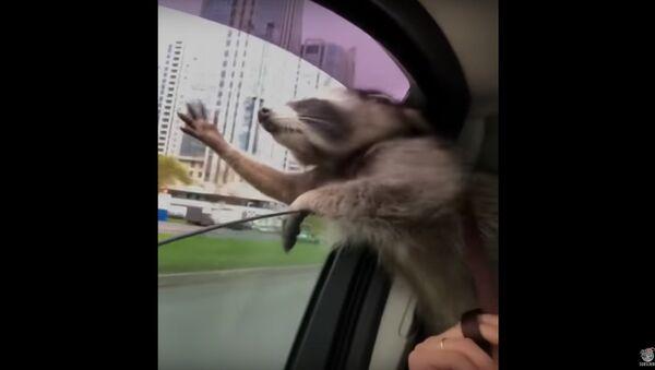 Raccoon Catching Wind || ViralHog - Sputnik Srbija
