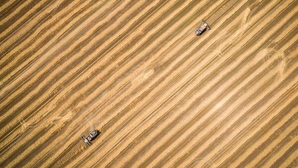 Žetva pšenice u Krasnodarskoj oblasti - Sputnik Srbija