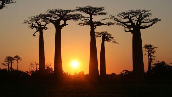 Alleя baobabov  na Madagaskare, proizrastaющih vdolь gruntovoй dorogi meždu nebolьšimi gorodkami Morondava i Beloni Tsiribihina v regione Menabe - Sputnik Srbija