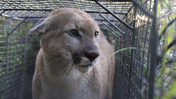 Puma, ili kako ga neki nazivaju kuguar ili planinski lav - Sputnik Srbija
