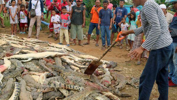 U Indoneziji ubijeno 300 krokodila iz osvete - Sputnik Srbija