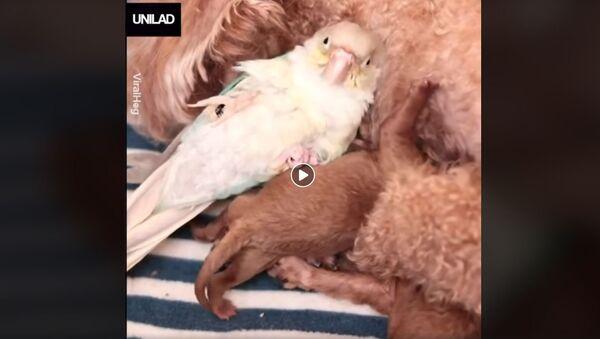 Papagaj umislio da je štene - Sputnik Srbija