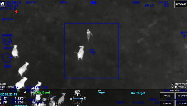 Стадо крава са Флориде помаже полицији да лоцира осумњиченог крадљивца аутомобила. - Sputnik Србија
