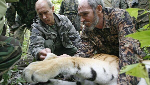 Vladimir Putin posmatra petogodišnju tigricu - 31. avgust 2008. - Sputnik Srbija