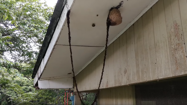 Мрави легионари направили мост како би напали осињак - Sputnik Србија