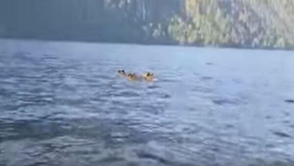 Медведи препливавају језеро - Sputnik Србија