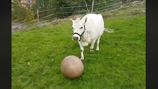 Крава - Sputnik Србија