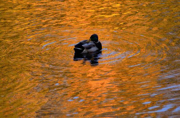 Patka na jezeru u Letnjem sadu u Sankt Peterburgu - Sputnik Srbija