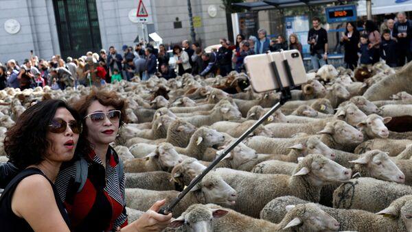 Ovce u Madridu - Sputnik Srbija