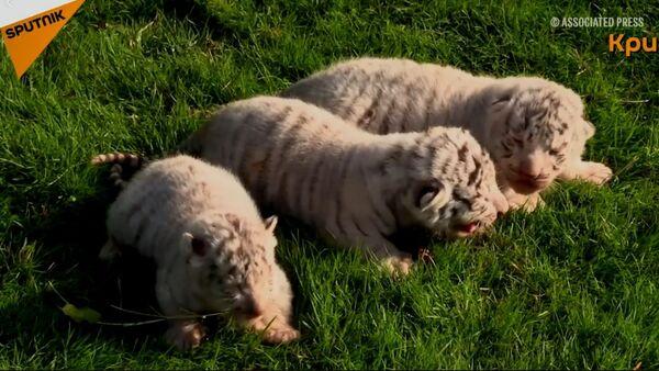 Бели бенгалски тигрови рођени на Криму - Sputnik Србија