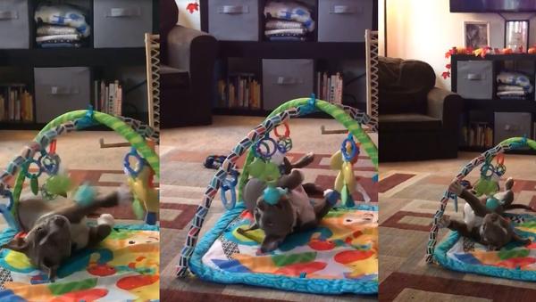Killer Cuteness: Pit Bull Pup's Playtime Is Ferociously Adorable - Sputnik Srbija