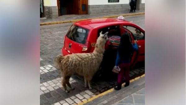 Лама се вози таксијем у Перуу - Sputnik Србија