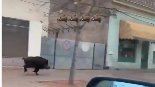 Divlji vepar u Šapcu - Sputnik Srbija